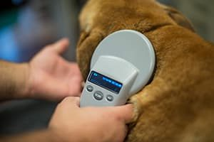Dog being scanned for a microchip