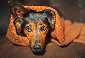 Dog hiding under a blanket